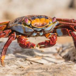 Galapagos Ecuador crab photo tour Cathy and Gordon Illg