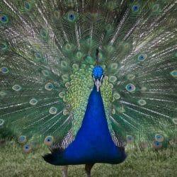peacock Czech Republic photo tour Ron Rosenstock