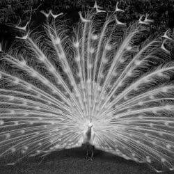 Infrared peacock czech republic photo tour Ron Rosenstock