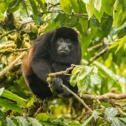 Costa Rica photo tour Cathy and Gordon Illg howler monkey