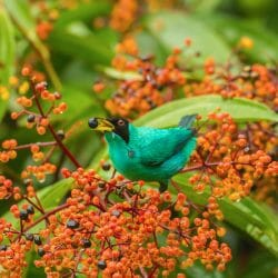 Costa Rica photo tour Cathy and Gordon Illg green honeycreeper