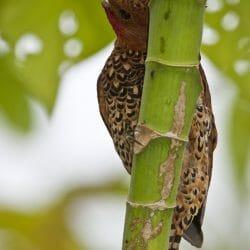 Cinnamon_woodpecker_Costa_Rica_photo_tour_Kathy_Adams_Clark