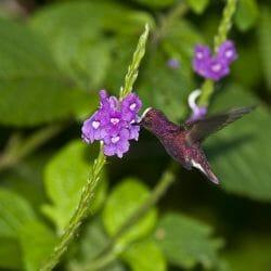Snowcap_hummingbird_Costa_Rica_photo_tour_Kathy_Adams_Clark