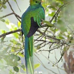 Resplendent_quetzal_Savegre_Costa_Rica_photo_tour_Kathy_Adams_Clark