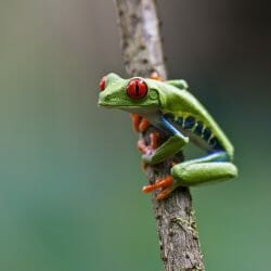 Red-eyed_treefrog_Costa_Rica_photo_tour_Kathy_Adams_Clark