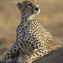 Tanzania Photo Tour cheetah Kathy Adams Clark