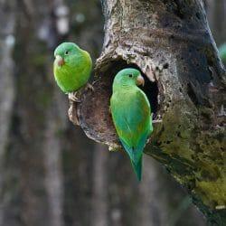 Orange-chinned parakeet Costa Rica Kathy Adams Clark photo tour