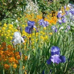 Givernyflowers
