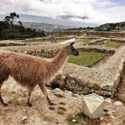 Llama, Ruins at Ingapirca Ecuador Karen Schulman