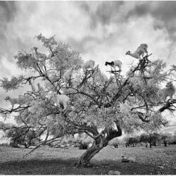 goats argon tree Morocco photo tour Ron Rosenstock