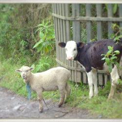 Ecuador lamb calf photo tour Karen Schulman