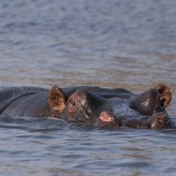 Botswana Hippo photo tour Brenda Tharp