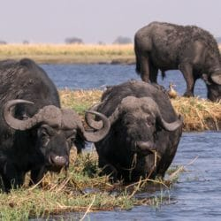 Cape Buffalo feeding along river's edge, Botswana, Africa Brenda tharp