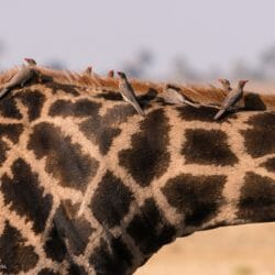 Botswana photo tour Brenda Tharp giraffe