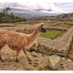 Ingapirca Llama Ecuador photo tour Karen Schulman