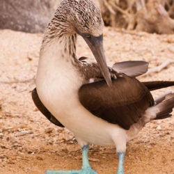 blue footed booby Galapagos Islands Photo Tour Cathy and Gordon Illg