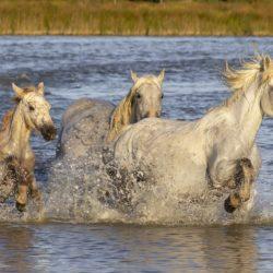 camargue horses France Provence free photo pixabay