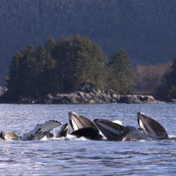Sitka AK photo tour humback whales bubble net Neil McD.