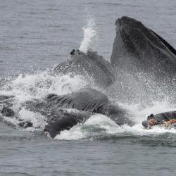 Sitka AK photo tour Betty Sederquist humpback whales