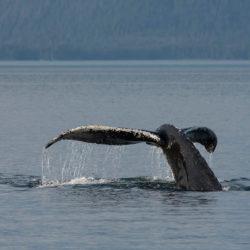 Sitka AK photo tour Betty Sederquist whale tail